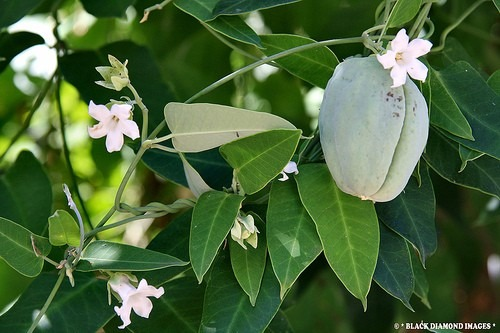 tasi-araujia-sericifera-trepadora-planta-nativa-mariposas-D_NQ_NP_840325-MLA25405780927_032017-F